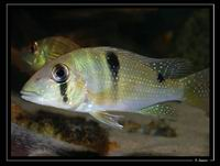 Geophagus spp.